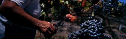 Hauptsächlich einheimische Rebsorten gedeihen auf dem Weingut Quinta do Portal