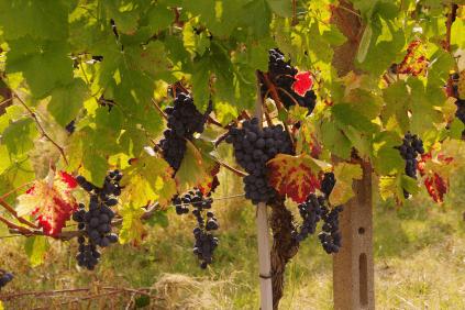Im Weingarten von Elio Filippino