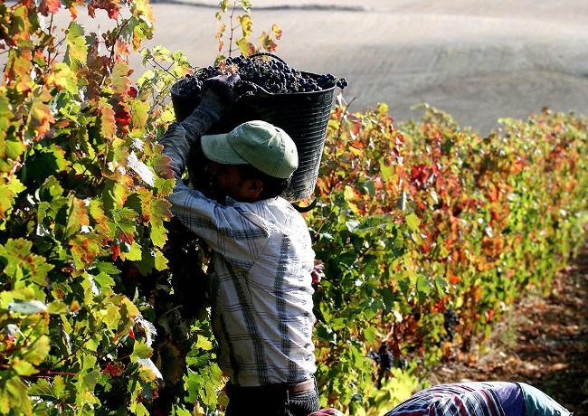Weinlese bei Altos de Rioja