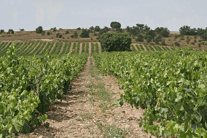 Weitläufige Weingärten von Teofilo Reyes