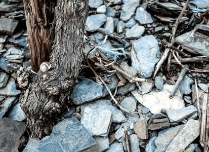 Schieferböden an der Mosel