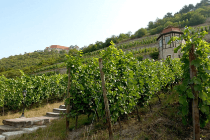 Weinbau am Schloss Neuenburg
