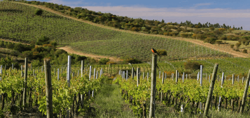 Montes Weinberge im Colchagua Valley