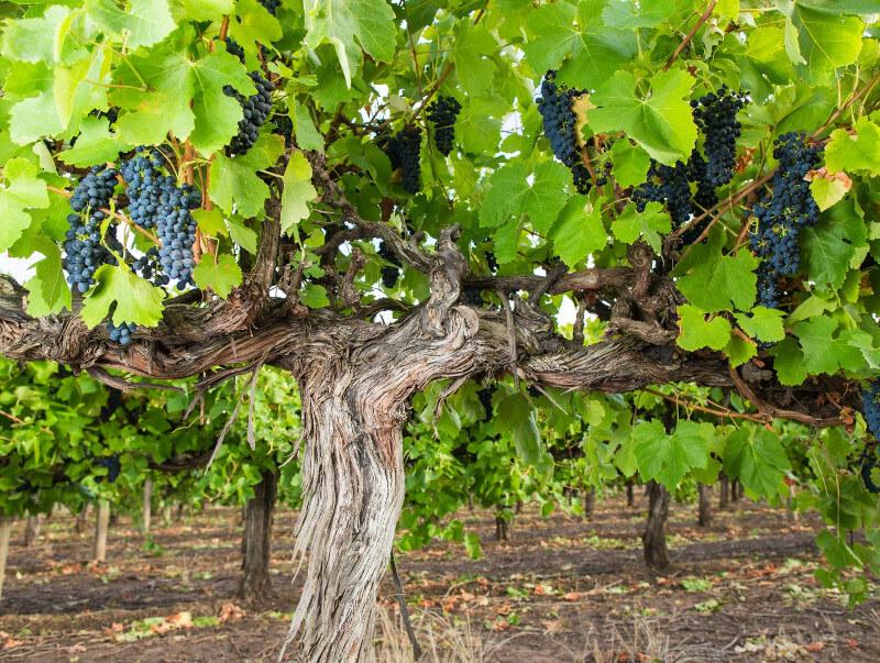 Alte Shiraz-Reben bei Heartland Wines