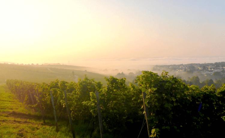 Riesling-Rebzeilen vom Weingut Robert Weil